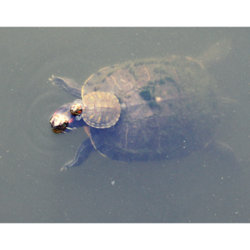 Photograph of a baby turtle on the back of a larger turtle, swimming at the surface of a pond/lake