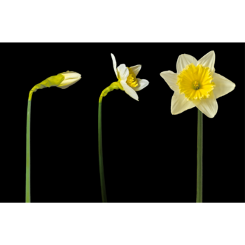 Photo of a daffodil in progressive stages of blooming, from a closed bud to open flower, against a black background